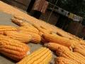 corn-bangladesh-village