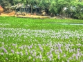 field-of-lily-village-bangladesh