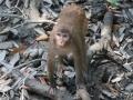monkey-bangladesh