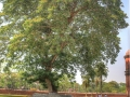 sixty-dome-mosque-old-large-tree